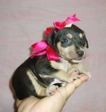 Chihuahua x pinscher  - Foto 6