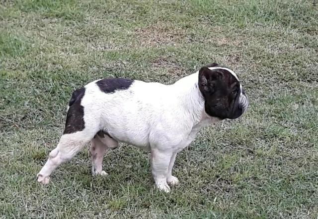 Macho adulto Bulldog Francês - Foto 2