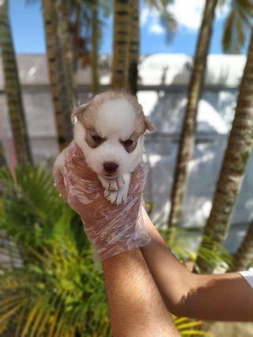 Husky Siberiano padrão internacional e magnifico da raça! * whats - Foto 3