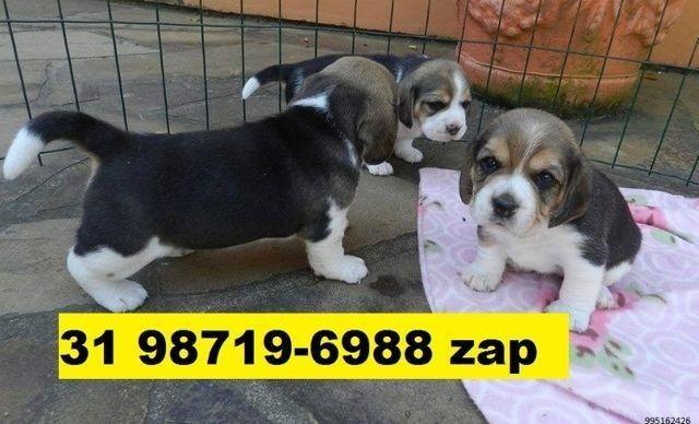 Canil Filhotes Líder Cães BH Yorkshire Beagle Lhasa Maltês Poodle Basset Bulldog Pug  - Foto 2