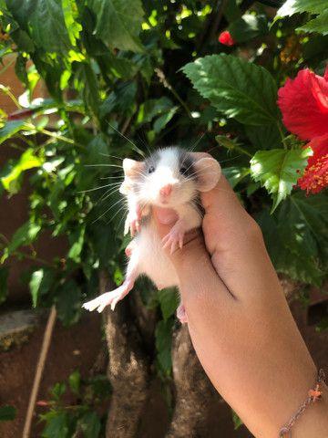 Ratinhos de laboratório machos - Foto 4