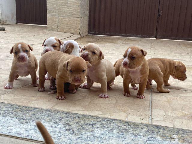 Filhotes de American pitbull terrier