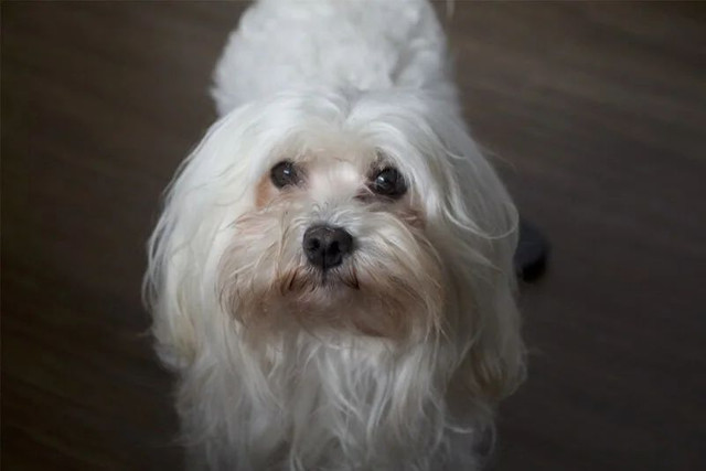 Cachorro macho maltês