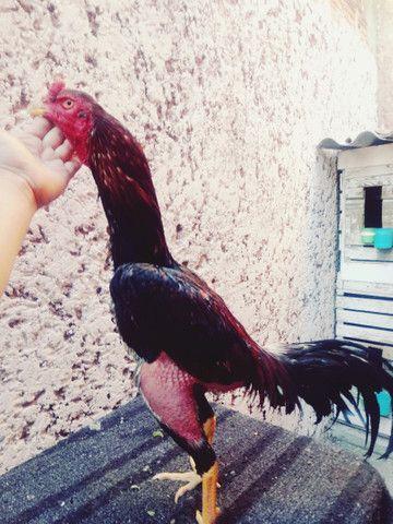 Galinha frango galos - Foto 3