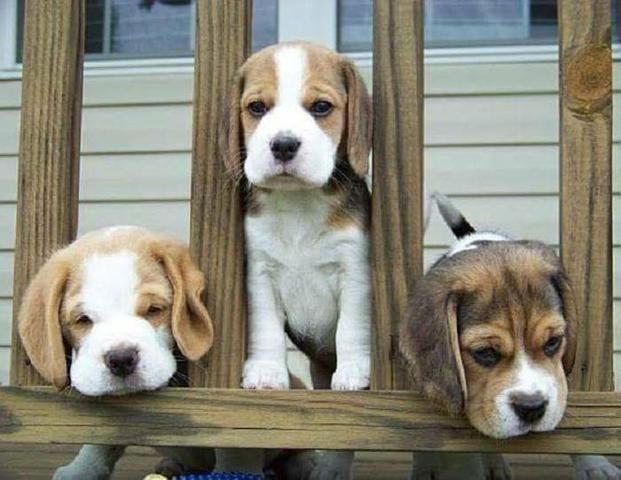 Beagle alto padrao - Foto 4