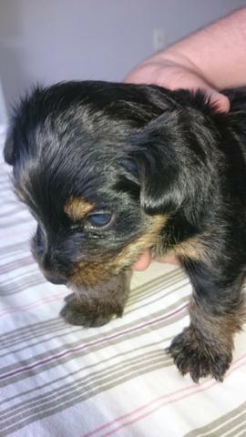 Cachorro Yorkshire Terrier,