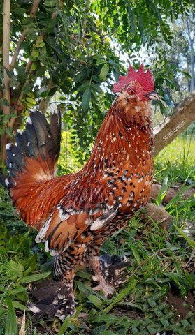 Ovos galados galinhas ornamentais - Foto 2