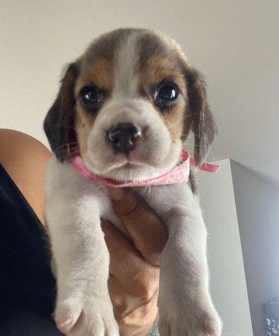 Beagle fêmea parcelamos em ate 12x ja vacinada