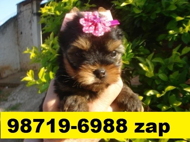 Canil Filhotes Perfeitos Cães BH Shihtzu Yorkshire Basset Poodle Lhasa Maltês Pug Bulldog  - Foto 2