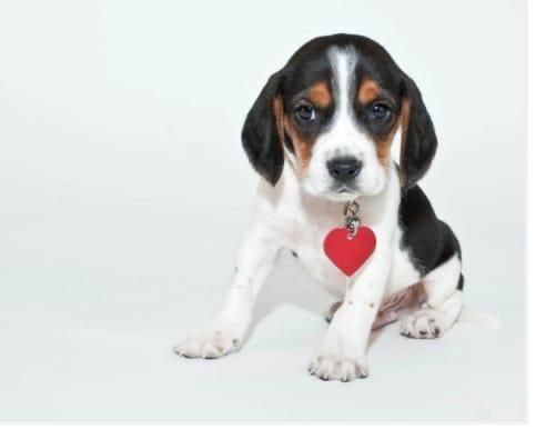 Lindas filhotes de Beagle ja vacinadas e vermifugadas