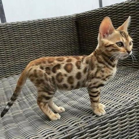 Bengal -gato leopardo - Foto 2