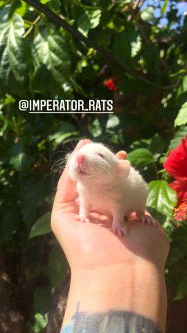 Ratinhos de laboratório machos - Foto 3