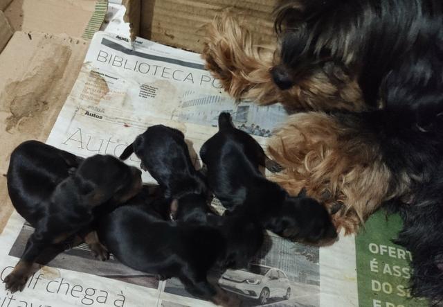 Cachorro Yorkshire filhotes recém nascidos