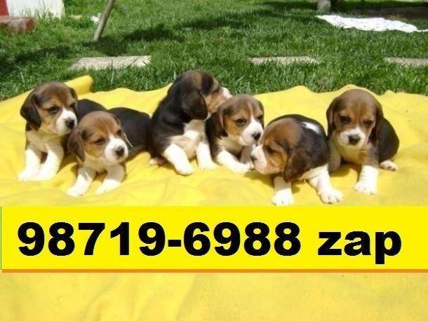 Canil Filhotes Cães Alto Padrão BH Maltês Beagle Fox Pug Lhasa Shihtzu Yorkshire Bulldog  - Foto 2