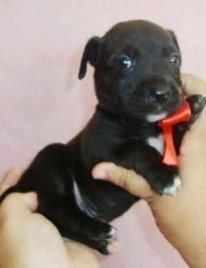 Chihuahua x pinscher  - Foto 2