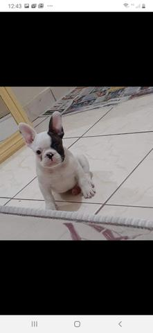 Bulldog Francês macho - Foto 2