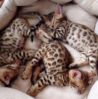 Bengal -gato leopardo - Foto 3