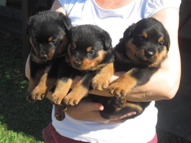 Filhotes de Rottweiler - Macho e Femea!