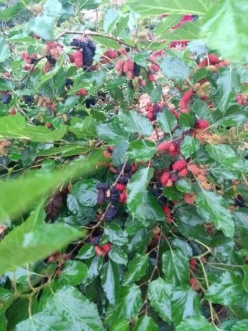 Mudas frutíferas, nativas e ornamentais - Foto 2