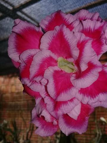 Rosas Do Deserto - Foto 2