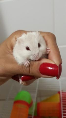 Hamster - Foto 3