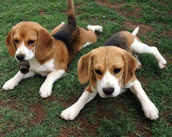 Beagle alto padrao - Foto 5