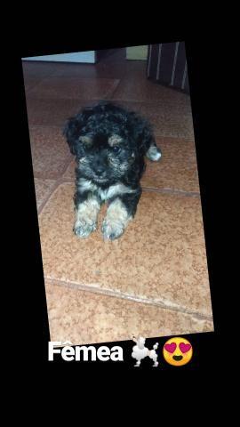 poodle com shituz - Foto 4