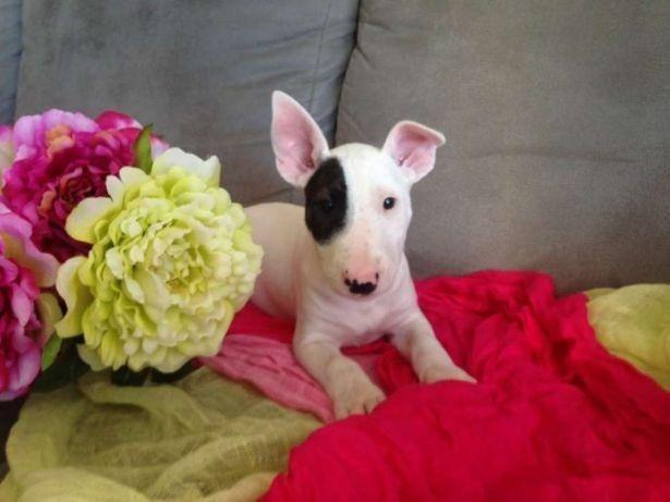 Bull Terrier Inglês vacinados e vermifugados com garantia total de saúde em contrato - Foto 2