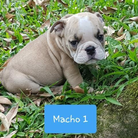 Lindos Filhotes de Bulldog Inglês - Foto 3