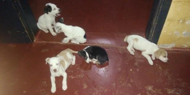 Vende-se seis cachorrinhos rua madressilva 3598 bairro conceição porto velho RO - Foto 4