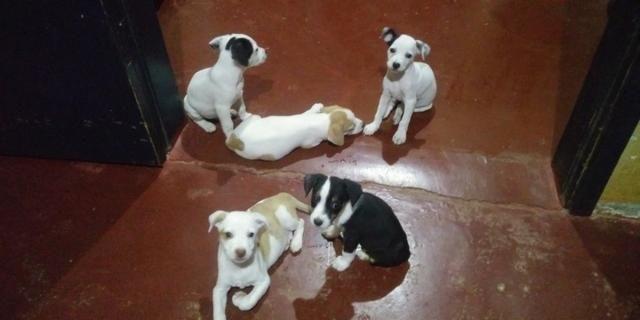 Vende-se seis cachorrinhos rua madressilva 3598 bairro conceição porto velho RO - Foto 2