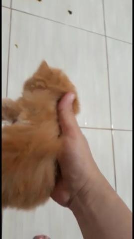 Gato persa filhote - Foto 2