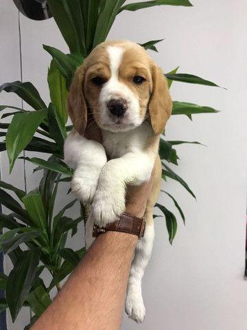 Beagle 13 pol, todas as colorações, com suporte veterinário gratuito! * - Foto 4
