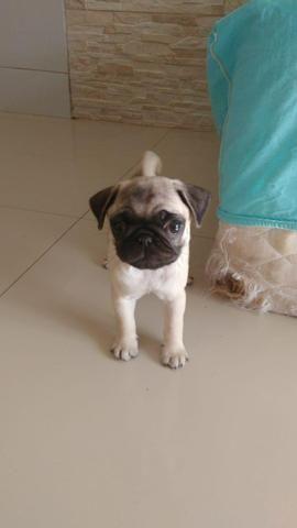 Filhote de Pug fêmea - Foto 3