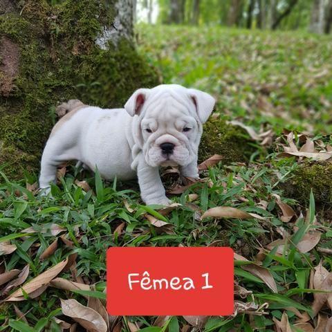 Lindos Filhotes de Bulldog Inglês - Foto 2