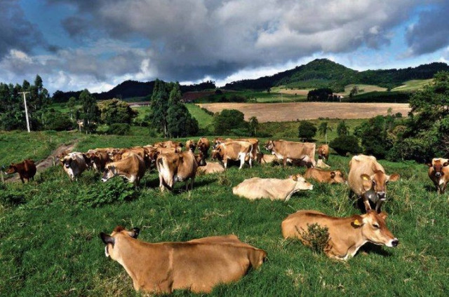 VACA leiteira/GADO leiteiro- Jersey- Especial - Foto 6