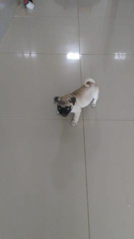 Filhote de Pug fêmea - Foto 4