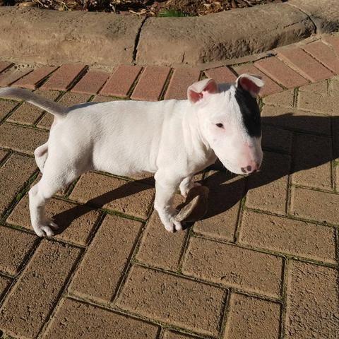 Bull Terrier Inglês pirata/fulvo/tricolor/white e black brindle, machos e fêmeas! - Foto 4