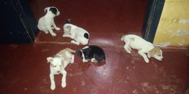 Vende-se seis cachorrinhos rua madressilva 3598 bairro conceição porto velho RO - Foto 5