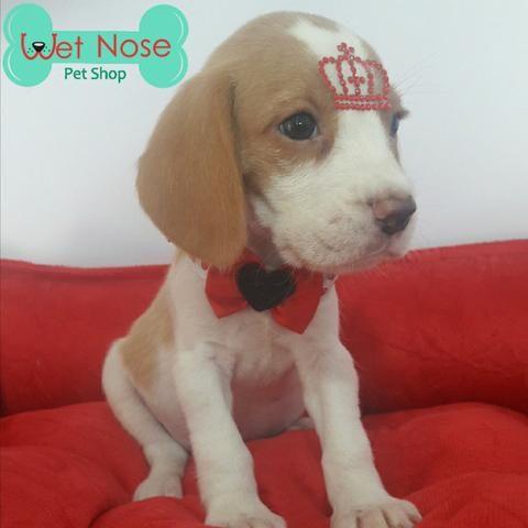Beagle Linda Femea Bicolor Neste Feriado na Wet Nose