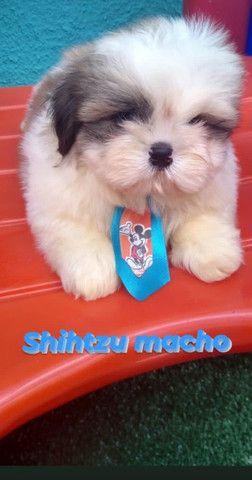 Shihtzu macho bb com 50 dias  - Foto 2