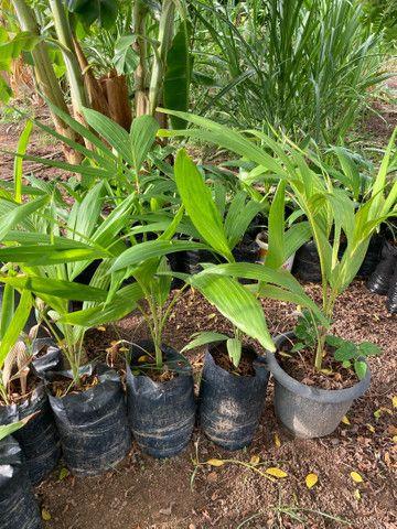 Mudas de palmeira indiana - Foto 6