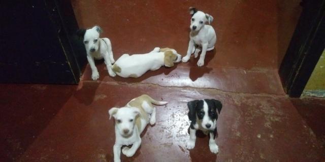 Vende-se seis cachorrinhos rua madressilva 3598 bairro conceição porto velho RO - Foto 3