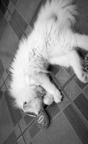 Gato Persa heterocromia - Foto 5