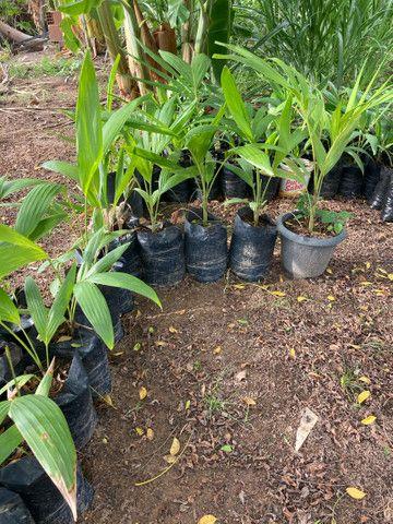 Mudas de palmeira indiana - Foto 4