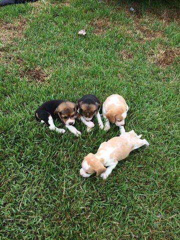 Filhote beagle pedigree