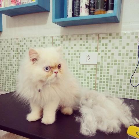 Gato Persa heterocromia - Foto 6