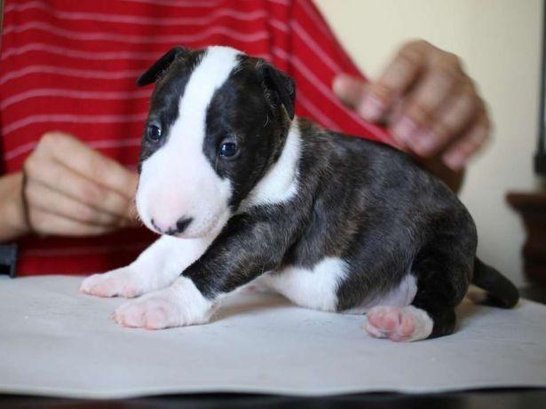 Bull Terrier Inglês vacinados e vermifugados com garantia total de saúde em contrato