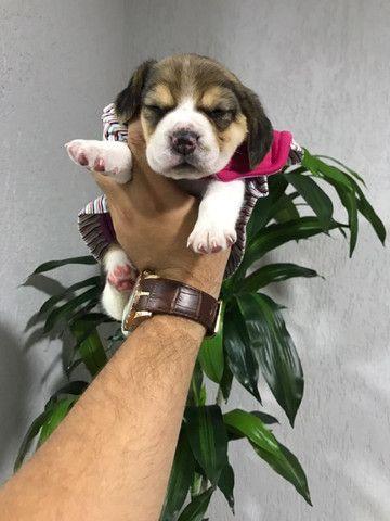 Beagle 13 pol, todas as colorações, com suporte veterinário gratuito! * - Foto 2