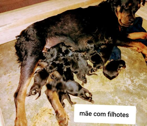 Filhotes de rottweiler de alta qualidade - Foto 3